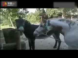 马的人工配种视频_动物交配马和驴繁殖视频