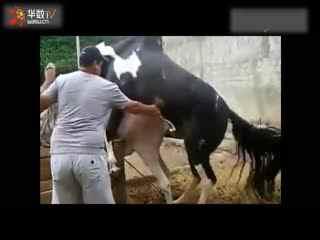 马的人工配种视频_动物性行为驴马交配动物交配