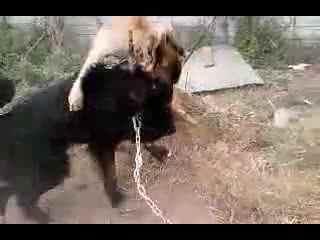 高加索犬与藏獒打架谁厉害