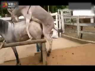 马的人工配种视频_动物交配马交配,牛啊