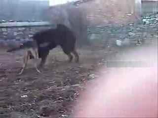 野生藏獒和狼打架_藏獒与狼打架 藏獒pk狼王 藏獒打架视频