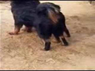 野生藏獒和狼打架_藏獒打架视频 实拍藏獒与狼打架 狼狗被吓到 斗狗打架