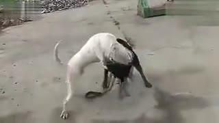 斗狗视频 杜高犬打架 罗威纳vs杜高