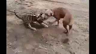 藏獒和老虎打架图_藏獒和老虎打架图下载藏獒与老虎打架藏獒和