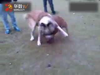 中亚牧羊犬打架视频