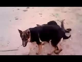 野生藏獒和狼打架_藏獒打架视频 藏獒vs狼狗 高加索犬