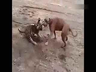 藏獒和老虎打架图_