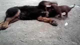 高加索犬咬死藏獒 高加索犬vs藏獒 藏獒打架视频 高加索犬vs藏獒 斗狗