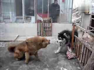 鬣狗和狮子打架视频