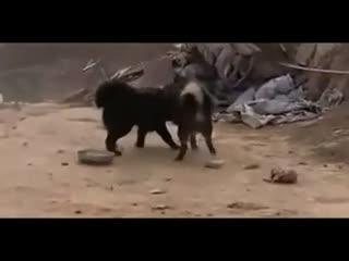 野生藏獒和狼打架_藏獒打架比赛视频 藏獒和狼打架视频