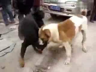 藏獒和比特打架的视频