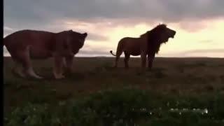 狮子老虎大pk 狮虎大战 俄罗斯实拍东北虎暴打非洲野生雄狮