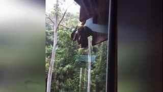 巨蟒屋檐下活吞鹦鹉 将自己的身体撑到扭曲变形