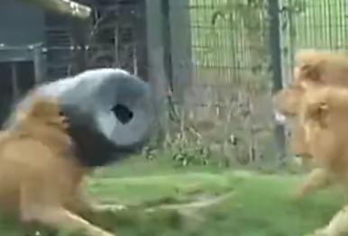 狮子脑袋被卡圆桶 茫然失措囧态百出