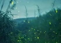 卖萤火虫年入百万 致萤火虫数量骤降将灭绝