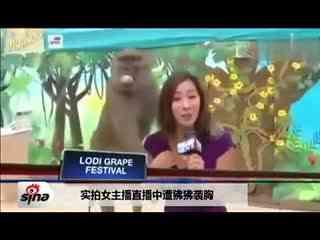 实拍美女主播直播中遭狒狒袭胸15分钟女主播直播狒狒袭胸