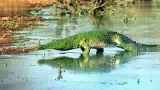 """南非一鳄鱼被水藻覆盖似""""绿色水怪"""""""