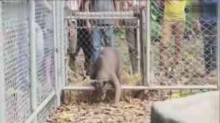 秘鲁眼镜熊被关4年 极度孤独变无毛熊