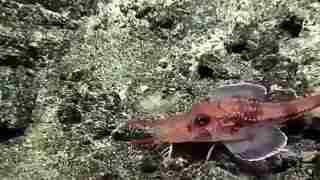 澳洲深海一渔民发现怪鱼_似虾又似鱼