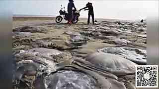 大量水母搁浅沙滩 体积硕大单只重达数十公斤