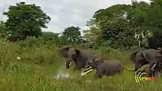 大象在岸边喝水 竟然被鳄鱼偷袭咬住鼻子