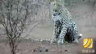 豹子捕豪猪反被猛扎 表情哀怨拔刺