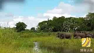 小象喝水突遭鳄鱼蹿出咬鼻 同伴围攻助其脱险