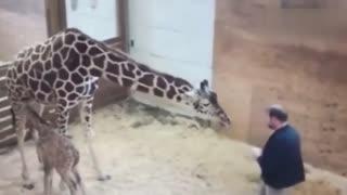 兽医欲靠近小长颈鹿检查健康 长颈鹿妈妈抬腿就是一脚