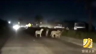 男子深夜骑摩托遇狮群过马路 瑟瑟发抖不敢动