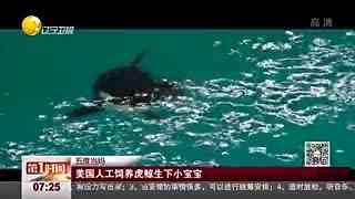 美国人工饲养虎鲸生下小宝宝