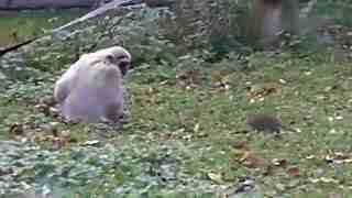 两只长臂猿被一老鼠搞蒙圈