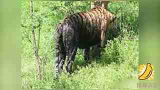 动物园池水发黑 老虎洗白白反被染成黑虎