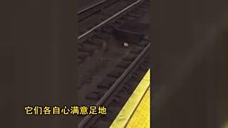 互不相让!两老鼠纽约地铁轨道上争夺面包圈