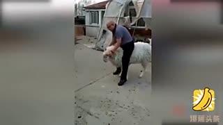 光头男骑羊拍照 遭愤怒山羊连环撞笑坏众人