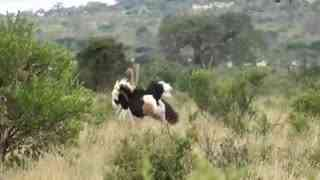 两只鸵鸟打架大象上前劝架