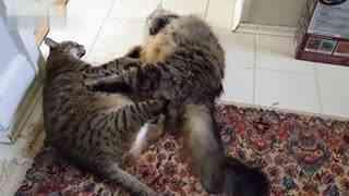 【萌宠】203期:两只胖猫爷的对决:啊,好累,中场休息