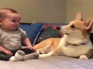 小主人伸手想摸柯基宝宝,没想到……柯基:泥奏凯!我不是那种随便的狗子