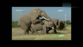 非洲霸主大象是怎么交配的?看完这个就明白了