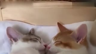 萌化了!日本猫兄妹同床共枕甜蜜入睡