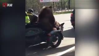 战斗民族日常!俄罗斯大棕熊坐摩托车边车淡定兜风