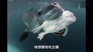 海豹怕摄影师会饿死 给他送企鹅吃