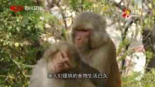 我们的朋友_20170614_那些坏猴子