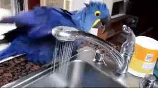 会自己洗澡的小鹦鹉,主人的内心却是崩溃的!
