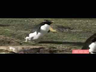 最萌宠 超萌的小企鹅们!