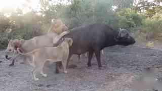 游客南非拍到水牛遭狮群跟踪猎杀全过程