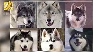 """小伙街头""""遛狗""""吓到警察:这是只狼"""