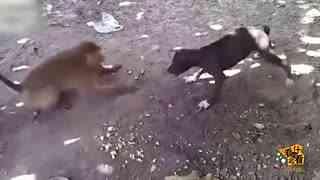 猴子与狗抢食 拿起平底锅就抡