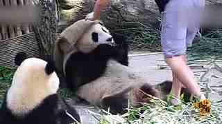 熊猫奶爸拍照方式层出不穷 团子们内心是崩溃的