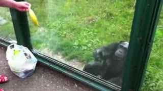 动物园聪明黑猩猩 教游客给它倒饮料