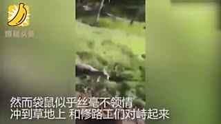 袋鼠掉泥坑被工人救出 惊恐过度反给恩人一拳
